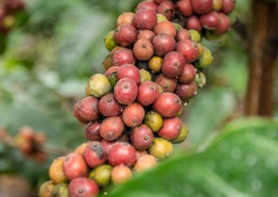 Veličenstvo kávovník
